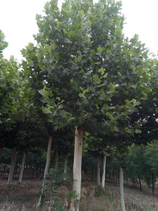 供应山东口碑好的法桐树|25公分法桐树。 法国梧桐价格