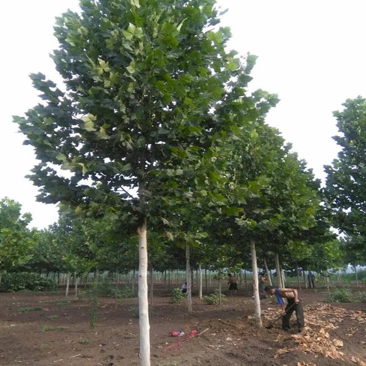 山东哪里有出售法桐树|17公分法桐树