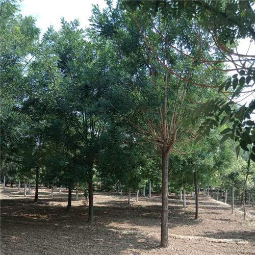 13公分国槐价格-想要国槐树就来菏泽嘉豪苗木