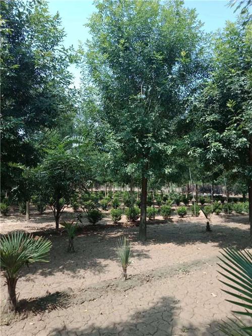 白蜡苗专业供应商_成活率高的白蜡树