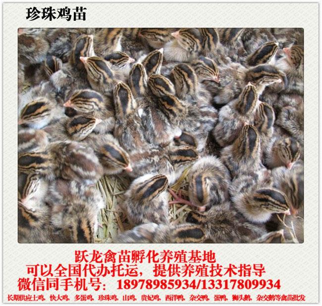 南宁价格实惠的贵州珍珠鸡苗哪里有供应,贵州鸡苗主营厂家