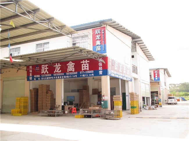 昆明贵州鸡苗主营厂家-哪里能买到贵州珍珠鸡苗