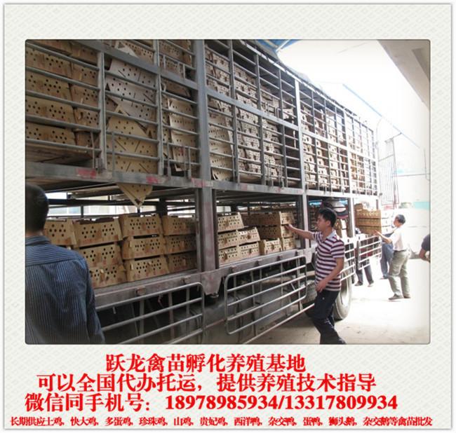 广西鸭苗供应_专业的广西南宁西洋鸭苗批发商,当属跃龙禽苗孵化