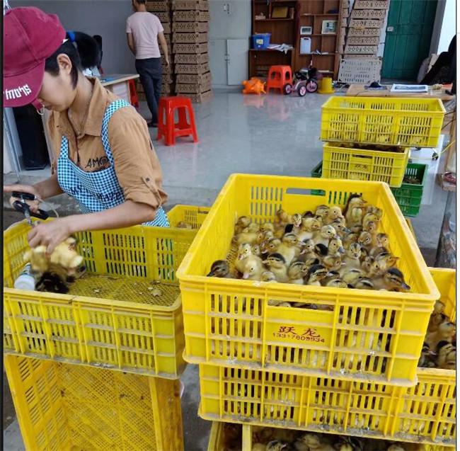 柳州鹅苗养殖技术-跃龙禽苗孵化专业供应广东马岗鹅苗
