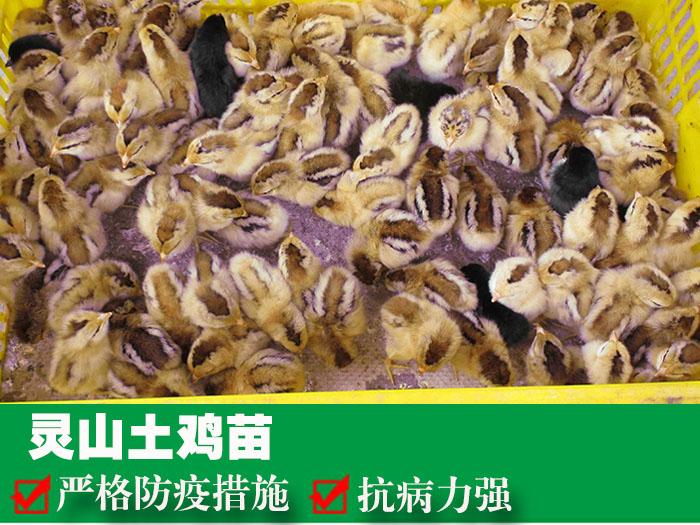 貴州雞苗養殖場,貴州禽苗供應