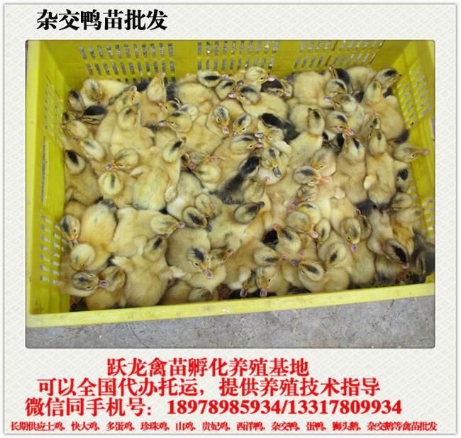 广西鸭苗孵化厂|跃龙禽苗孵化实惠的贵州杂交鸭苗出售