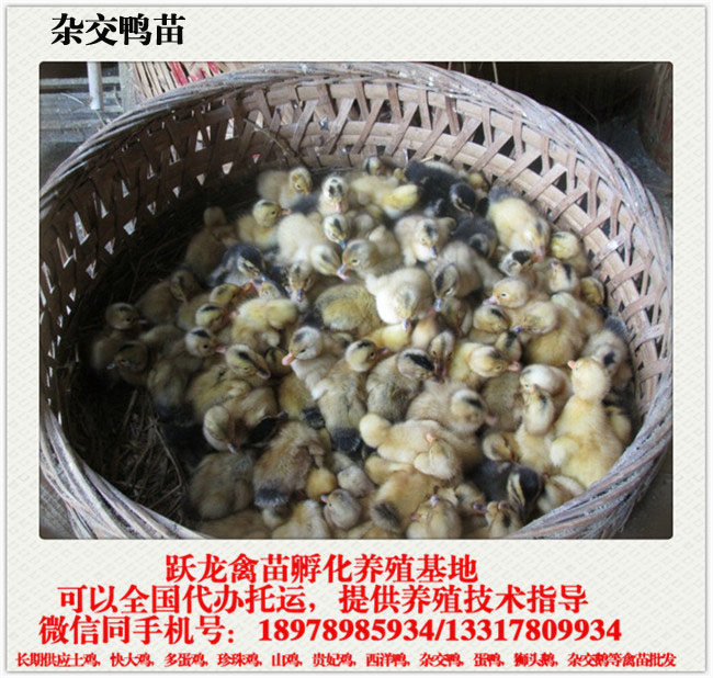 广西鸭苗供应|广西优良贵州杂鸭苗批发