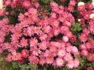 草花基地_合信花卉苗木销量好的地被菊供应