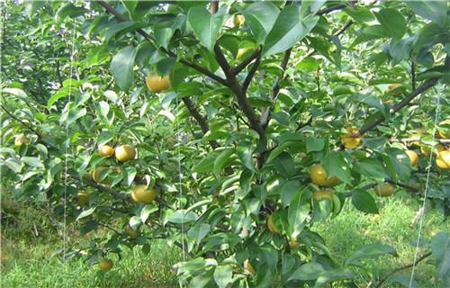 秋月梨苗哪里有卖的_黄桃树苗