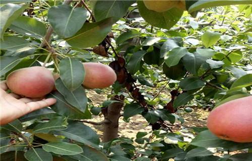 金森苗木繁育中心专业供应早酥红梨苗|临沂樱桃苗