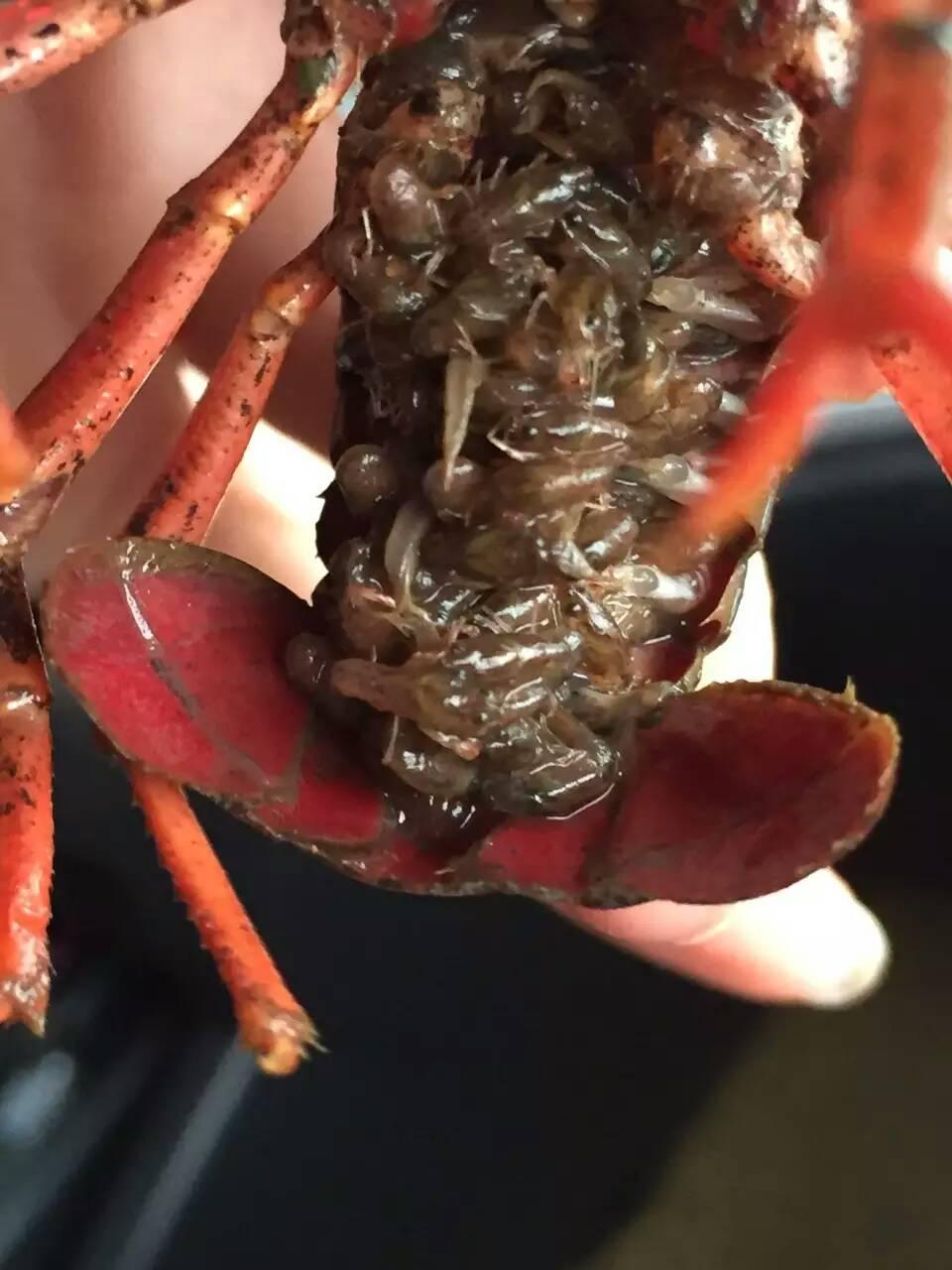 安徽哪里有龙虾种苗_大量供应高性价龙虾种苗