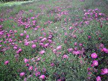 荷兰菊种植基地|山东哪里20期时时彩倍投的荷兰菊优良