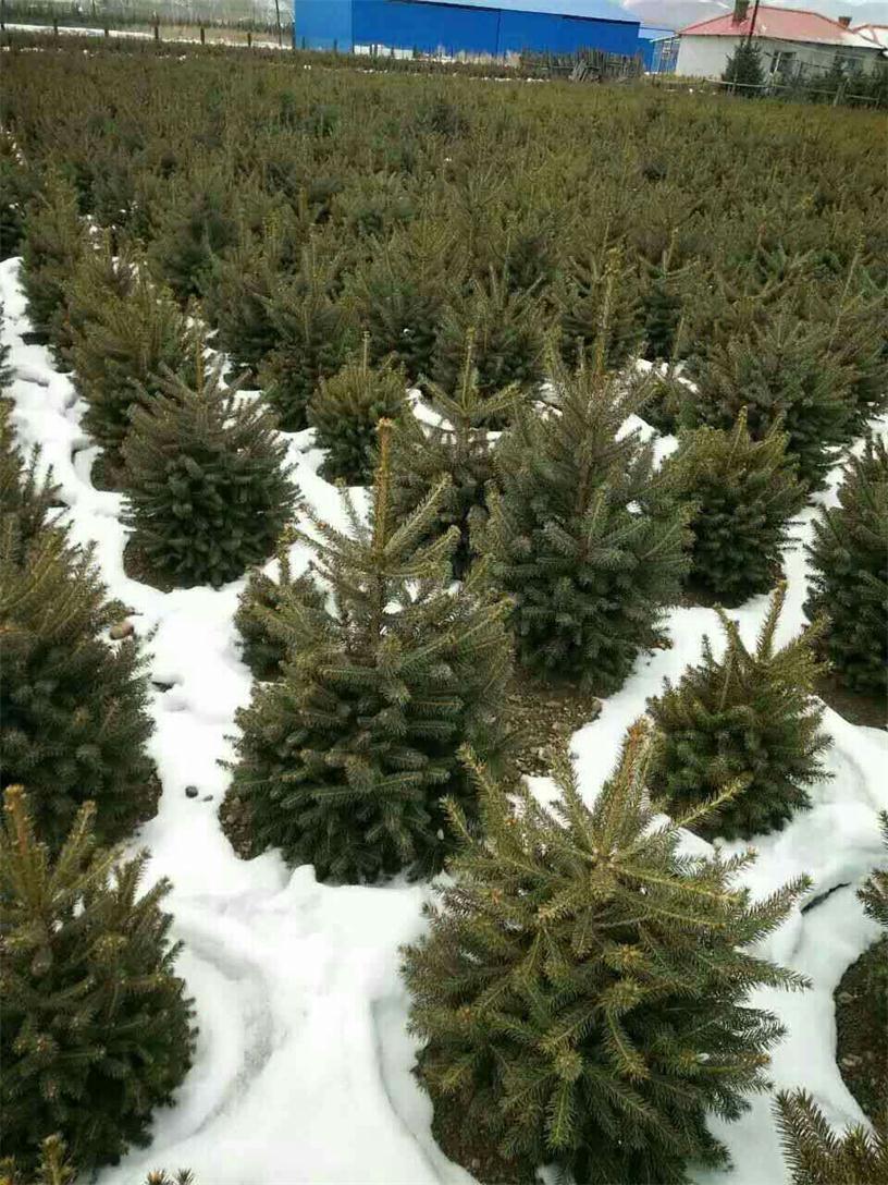 草炭土价钱-想要易种植的青扦小苗就来抚顺启运苗木