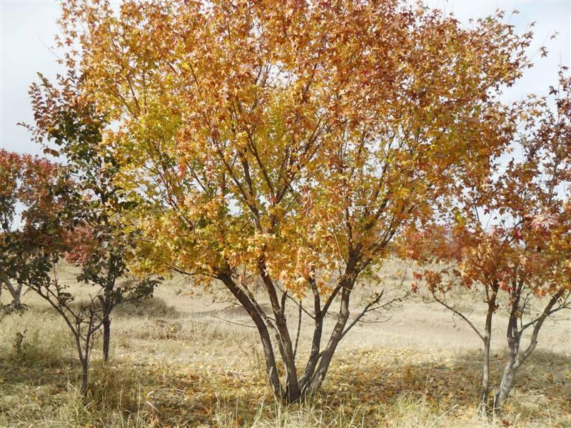 张家口红皮云杉-想要实惠的五角枫就来抚顺启运苗木