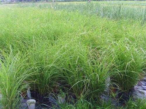 观赏草价格|供应潍坊有品质的观赏草