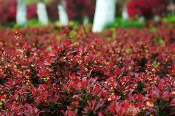 成活率高的红叶小檗-潍坊红叶小檗价格怎么样