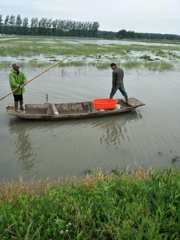 划算的小龙虾种苗就在江苏沭淮河小龙虾基地-龙虾苗价格