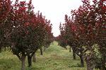 德勇花卉苗木供应优良的紫叶李 紫叶李种植基地
