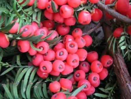 紅豆杉的批發價格是多少,阜新華山松價格