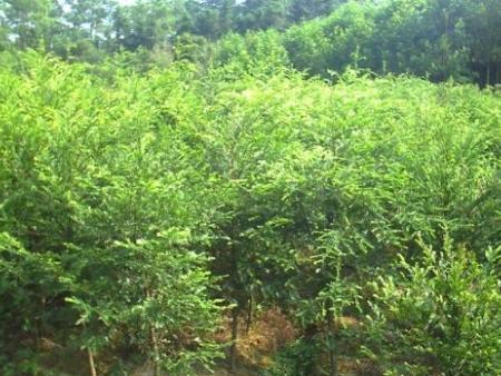 日本厚朴多少钱|供应辽宁优良的红豆杉