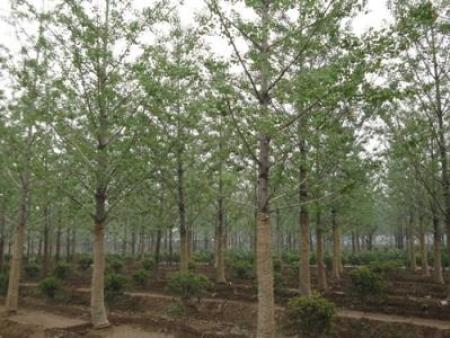 松原红豆杉种子-品种好的银杏优选丹东绿江苗圃