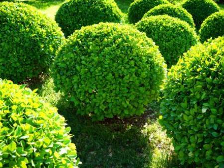 牡丹江红豆杉-大量出售黄杨球