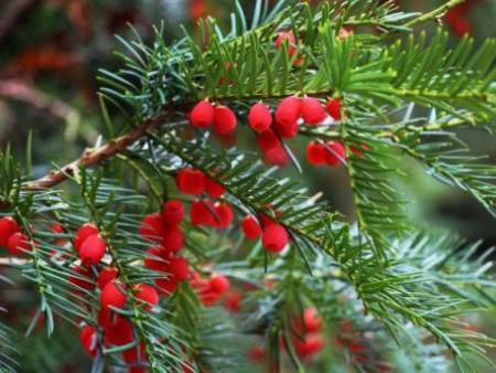 东北红豆杉-在哪能买到易成活的灌木红豆杉