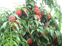 毛桃培育|质量好的毛桃优选友科果树苗木