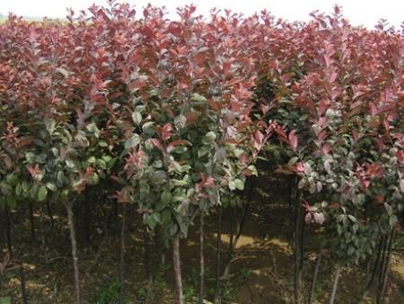花灌木苗木基地-供应甘肃实惠的紫叶稠李