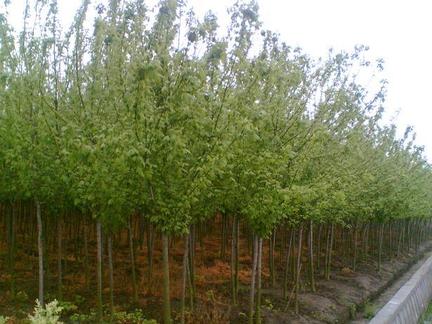 天水海棠苗木基地_兴隆苗木种植专注紫叶稠李批发