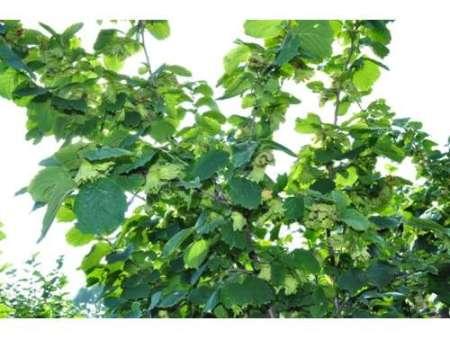 大果榛子苗栽培技术_想要品质好的榛子树就来开原宏宇榛子