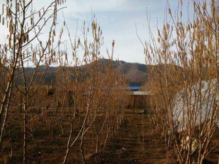 大榛子苗栽培技术_哪里有供应榛子树