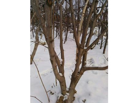 哪里有供应榛子树,榛子苗哪里有