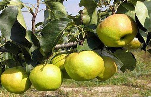 玉露香梨苗價格量大從優,山東花椒樹苗
