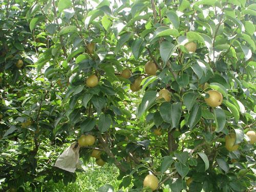 山东花椒苗——山东哪里有出售翠冠梨苗