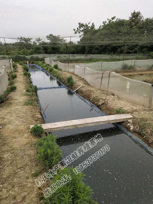 青蛙养殖基地直供黑斑蛙青蛙种苗青蛙合作社 质量好的青蛙种苗杜氏水产养殖基地供应