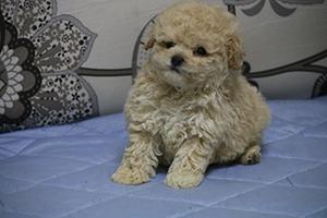 青岛不错的泰迪犬提供商_城阳泰迪犬价格