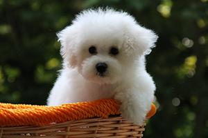 青岛口碑好的比熊犬商家推荐_城阳白色比熊犬