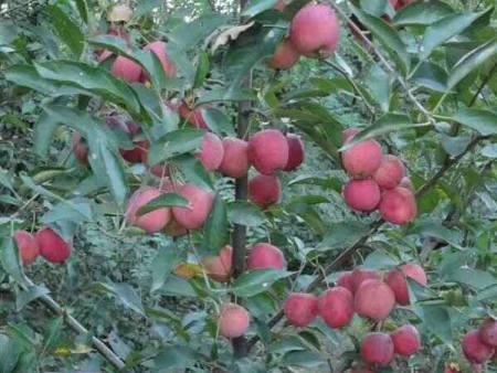 苹果苗价格-软枣子猕猴桃苗哪里有卖的