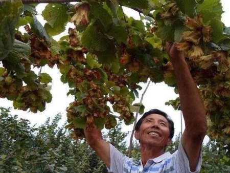 锦州大榛子苗|在哪能买到优良的大果榛子苗