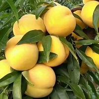 求购早黄金桃苗多少钱-供应山东质量好的早黄金桃苗