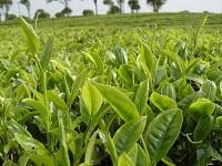 茶桃苗价格|高质量的茶桃苗出售