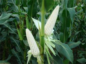 早熟高产大棒非转基因糯玉米种子