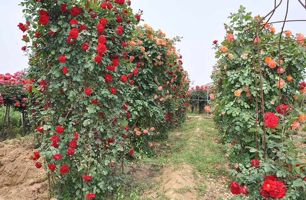 南阳市石桥镇将月季种植发展成大产业