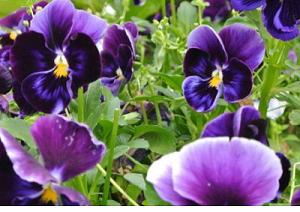 河北三色堇_口碑好的三色堇當選優嘉花卉