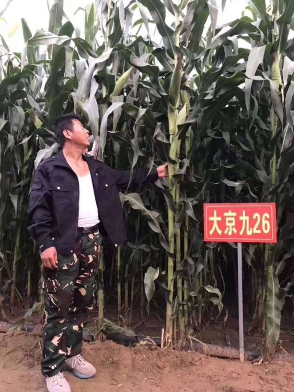 双国审青贮玉米升级品种大京九26