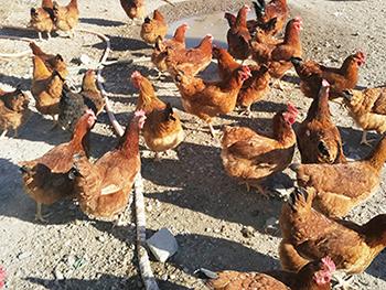 热门散养猪——隆盛养殖基地出售划算的隆盛无公害散养猪牛羊鸡