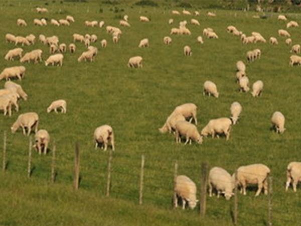 隆盛无公害散养猪牛羊鸡制造商|供应各种规格隆盛无公害散养猪牛羊鸡