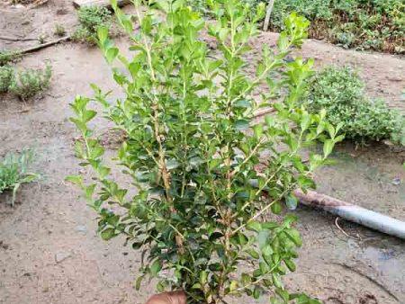 瓜子黄杨培育方法介绍,若琳瓜子黄杨种植基地