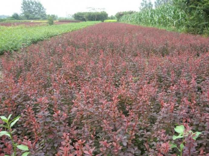 河北红叶小檗-红叶小檗找若琳花卉苗木